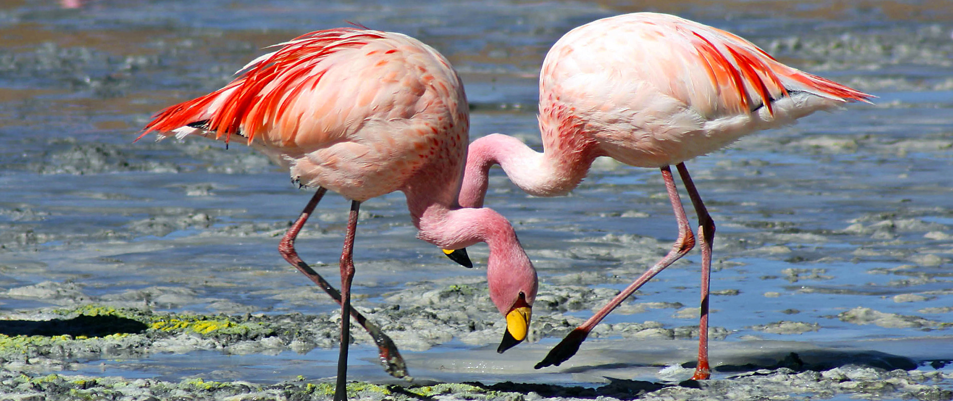 Bolivie | Lagunes et flamands roses