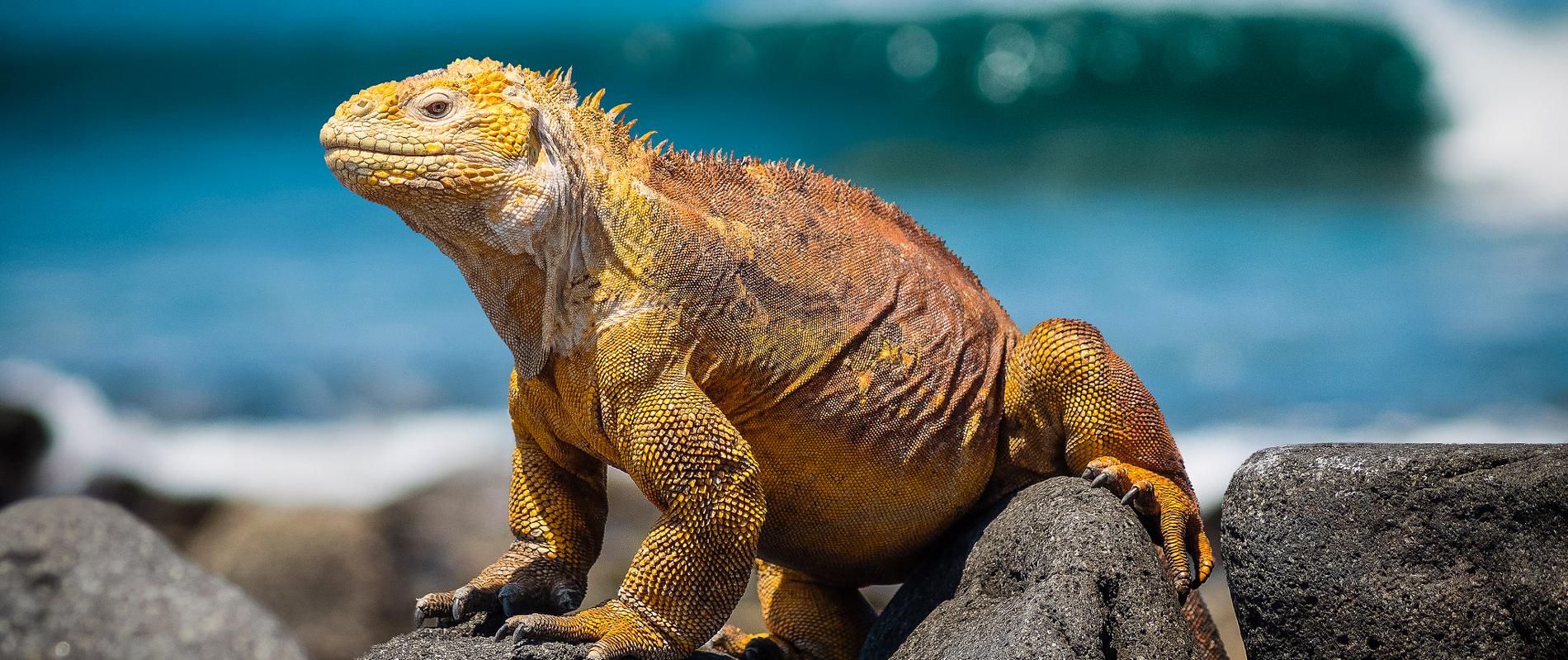 Galapagos | Iguane