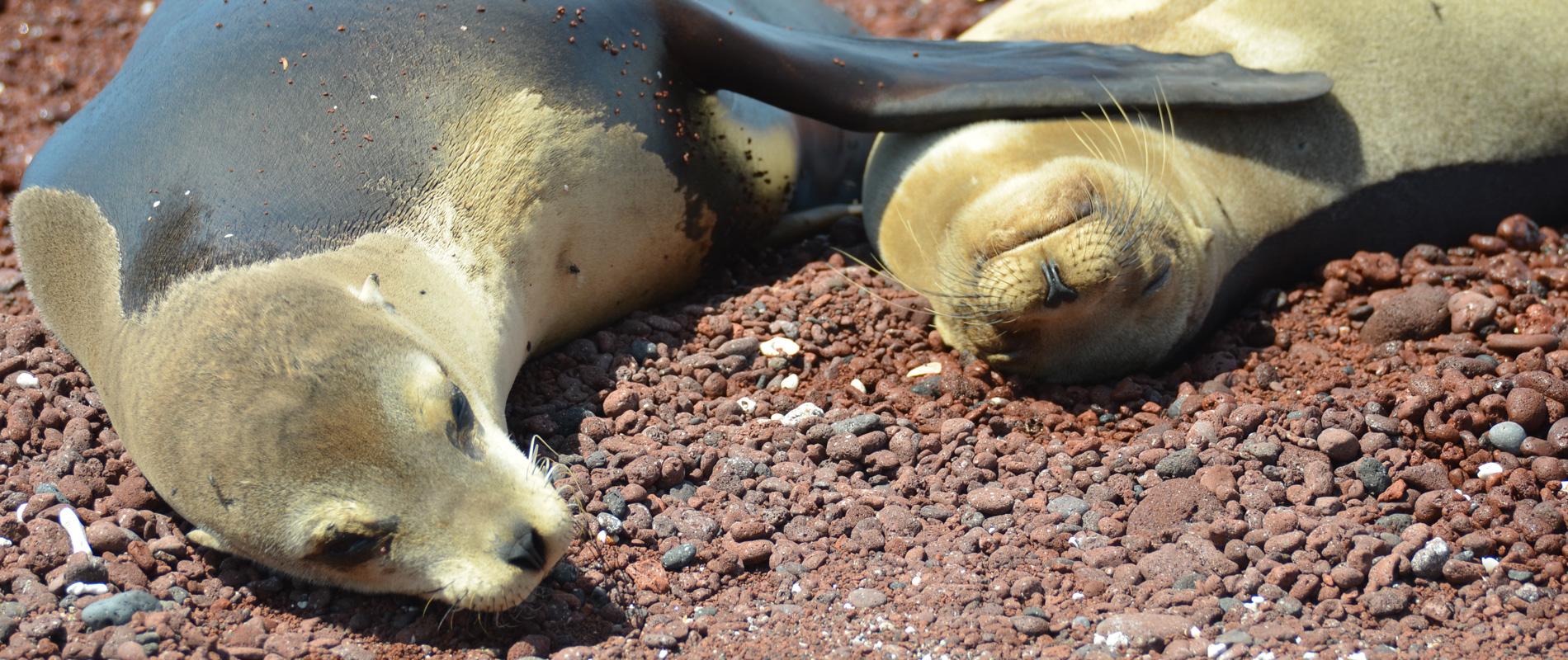 Galapagos |Lions de mer
