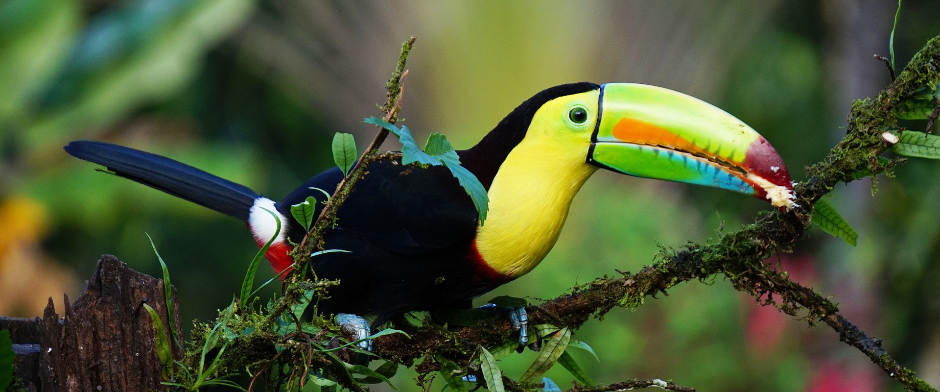 Costa Rica |Toucan